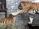 Tygří páření v ostravské zoologické zahradě skončilo.