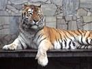 Tygří samec Tharo.
