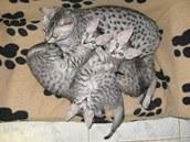 Egyptská mau s koťaty