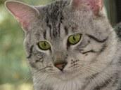 Egyptská mau má velmi zvláštně vybarvené oči