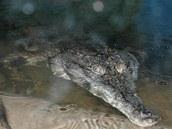 Krokodýl štítnatý žije ve sřední Africe.