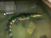 Pokus o páření krokodýla filipínského