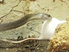 Mamba zaútočila na malého potkana.