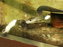 Potkan zahynul po několika minutách. Mamba si obhlíží, ze které strany se do něho pustí.