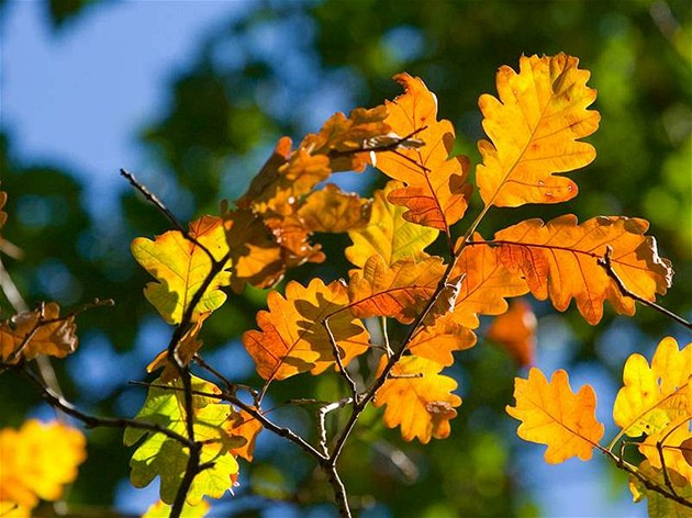 Podzimn� dub.