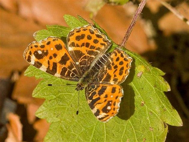Babočka síťkovaná (Araschnia levana) - sameček.