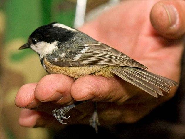 Sýkora uhelníček (Parus ater) hnízdí hojně v jehličnatých lesích.