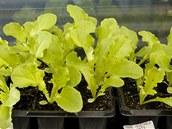 Správně předpěstovaná sadba salátu - každá rostlinka má svůj kořenový bal.