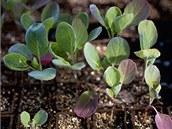Takto vypadá ideální sadba zelí, kedluben, květáku - tedy brukvovité zeleniny.