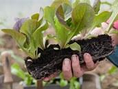 Salát můžete předpěstovat i v truhlíku - a při výsadbě jednotlivé rostlinky rozdělíte.