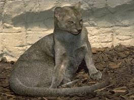 Jaguarundi ve výběhu v pražské zoo.