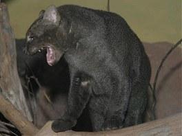 Jaguarundi v pražské zoo.