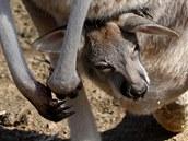Mládě klokana v jihlavské zoologické zahradě