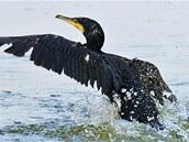 Kormorán velký p�ezimuje na pra�ské Vltav� ve velkých hejnech a rybá��m p�sobí lovem ryb �kody.