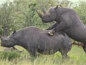Páření černých nosorožců v Africe