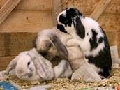 Na králičí samici se v tomto případě vrhli hned dva samci.