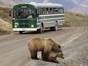 Páření medvědů hnědých na okraji silnice na Aljašce dokáže zastavit i kyvadlový autobus.
