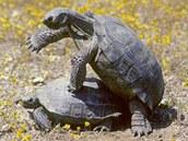 Páření pouštních želv