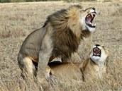 Páření lvů se neobejde bez zvukové kulisy.