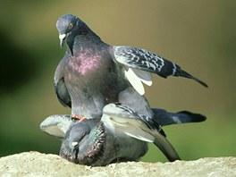 Páření holubů