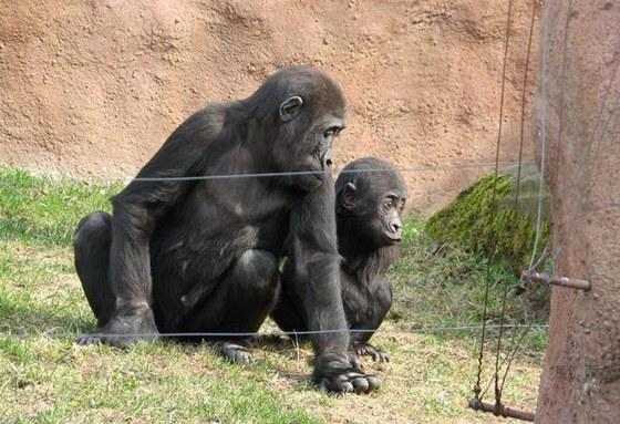 Bráškové – Tatu s Kiburim – ve venkovním výběhu pražských goril
