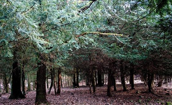 V zajetí tisového lesa