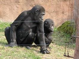 Bráškové - Tatu s Kuburim - ve venkovním výběhu pražských goril