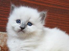 Všechna koťata něvských maškarád se rodí bílá.