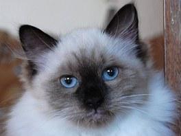 Dira Fjodorovna Natalis Sprig, kočka plemene něvská maškaráda. Chovatelka jí říká Mikuška.