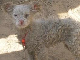 Podle zoologa Číňané za jehně vydávají štěně pasteveckého psa
