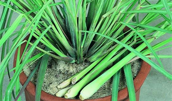 Pro využití v kuchyni se z rostliny odřezávají celé stonky se zduřelou bází.