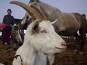 U Petra Hájka najdete stádečko koz včetně kozla.