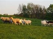 U Petra Hájka najdete stádečko koz a ovcí.