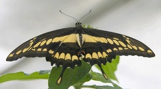 Motýli z Motýlího domu u Františkových Lázní.