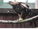 Orlice Dina z bartošovické stanice odchovala přes dvě stovky ptáčat.
