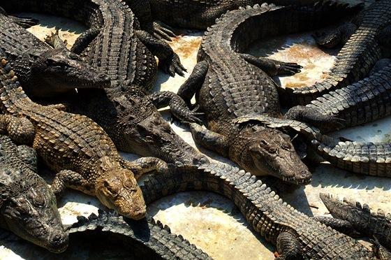 Na této farmě se narodil i největší krokodýl chovaný v zajetí.
