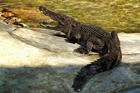 Největší krokodýli dorůstají do délky pěti až šesti metrů.