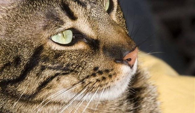 Ocicat má �iroký nos a velké mandlové o�i daleko od sebe.