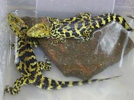 Krokodýli kubánští