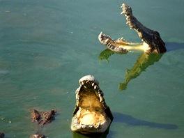 Mnoho krokodýlů nehybně čeká s otevřenou tlamou.