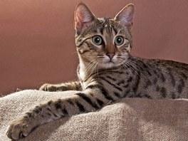 Egyptská kočka mau zaujme orientálním vzhledem i inteligencí