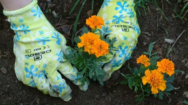 Tyto afrikány v Karlín� nádhern� kvetou i po m�síci. V míst�, kde se p�ed akcí zorganizovanou firmou Gervais povalovala jenom psí hovínka.