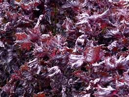 Perila je dostupná v červené i zelené formě a v obou je natolik aromatická, že odpuzuje hmyz, ale přitáhne vám na zahrádku motýly.