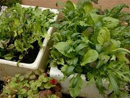 """Asijské """"greens"""" si můžete předpěstovat, nebo rovnou vysadit na záhon."""