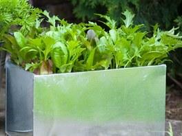 Za pár týdnů po výsevu můžete sklízet jednotlivé mladé a křehké listy.