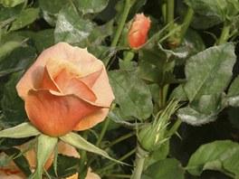 Padlí se rychle šíří, proto napadené rostliny hned odstraňte od zdravých. Ty ošetřete prostředkem proti této chorobě.