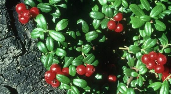 Brusinka pravá (vaccinium vitis)