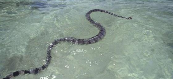 Dýchají sice plícemi, vydrží však velmi dlouho pod vodou. Nejdelší z nich měří tři metry, obvyklá délka je 1,2 až 1,5 metru.