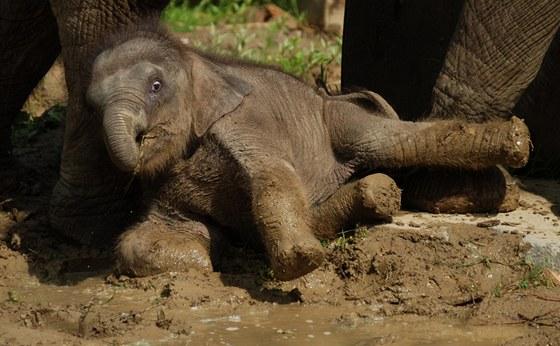 Takřka dvouměsíční sloní holčička si bahenní lázeň opravdu užila..
