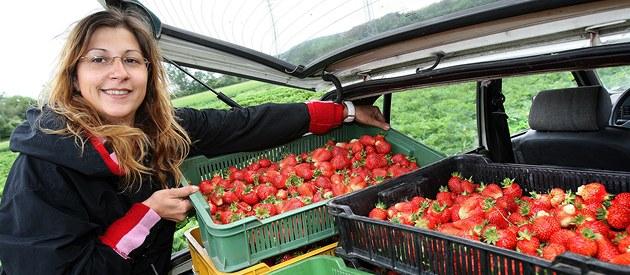 Brigádnice Eva Pláni�ková sklízí první dozrávající jahody na plze�ské plantá�i u Kalikovského mlýna
